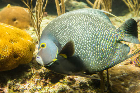 Closeup of beautiful French Angelfish in Caribbean sea Stock Photo - 27997899