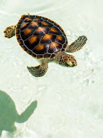 baby turtle: Cute endangered baby turtle swimming in crystal clear water