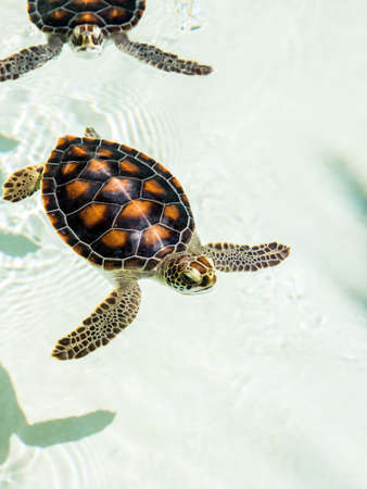 Cute endangered baby turtles swimming in crystal clear water