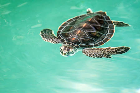 Cute endangered baby turtle swimming in turquoise water photo