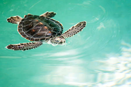 baby turtle: Cute endangered baby turtle swimming in turquoise water Stock Photo