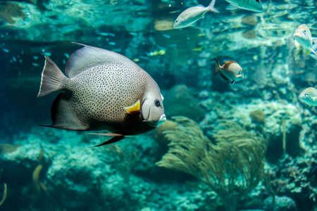 Closeup of beautiful French Angelfish in Caribbean sea Stock Photo - 28416905
