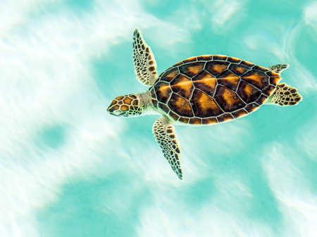 청록색 물에 귀여운 멸종 위기에 처한 아기 거북이 수영