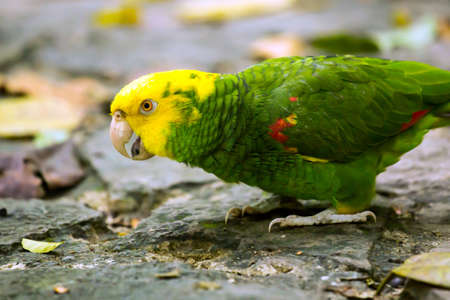 Portrait of beautiful Yellow-headed Amazon Parrot in Mexico photo