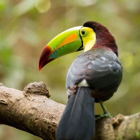 keel: Portrait of colorful Keel-billed Toucan bird in Mexico Stock Photo