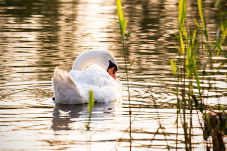 Floating swan taking care of its plumage photo