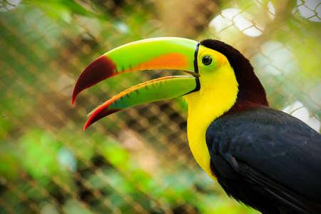 Closeup of colorful toucan bird somewhere in Mexico photo