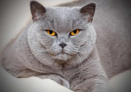 Portrait of adorable purebred british cat