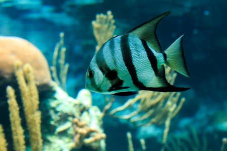 Closeup of a beautiful French Angelfish in Caribbean sea photo