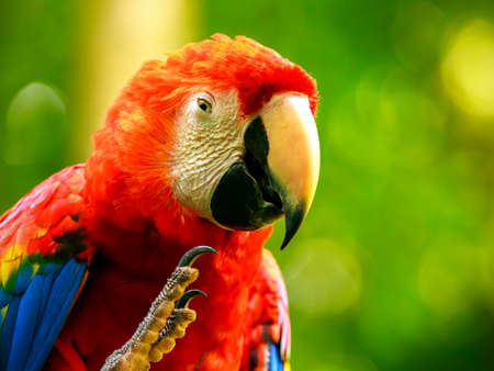 Portrait of colorful Scarlet Macaw parrot in Mexico photo