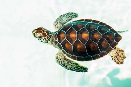 red animal: Cute endangered baby turtle swimming in crystal clear water