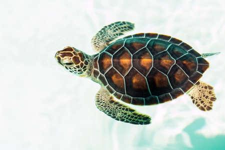 animales salvajes: Lindo beb� en peligro de extinci�n tortuga nadando en aguas cristalinas Foto de archivo