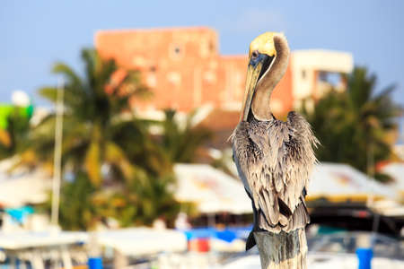 mujeres: Beautiful brown Pelican on tropical Mujeres island, Mexico