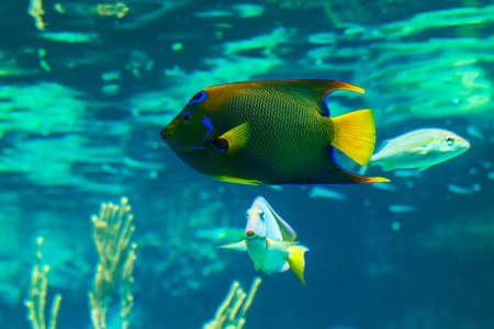 Closeup of a colorful Queen Angelfish in Caribbean sea photo