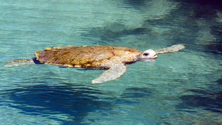 long lived: Big sea turtle swimming in crystal clear water Stock Photo