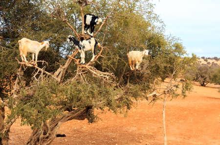 모로코 아르간 나무에 먹이 염소