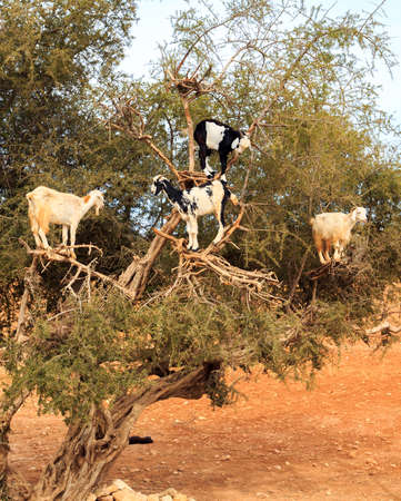 african tree: Goats feeding on argan trees in Morocco