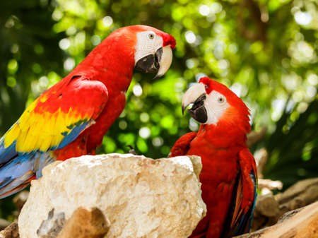 Portrait of colorful Scarlet Macaw parrots in Mexico photo