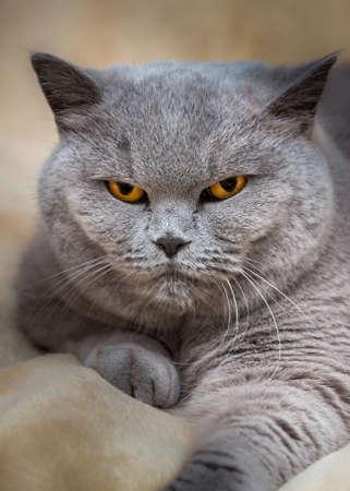 Portrait of adorable sleepy purebred british cat photo