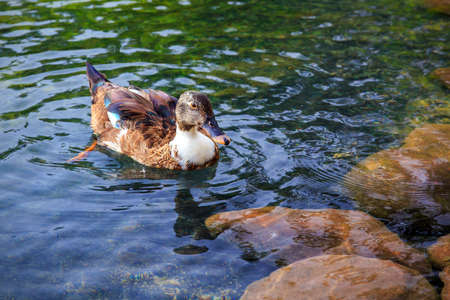 dabbling duck: Female mallard duck swimming in a pond in Morocco