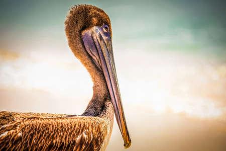 playa: Beautiful brown pelican on mexican beach in Playa del Carmen