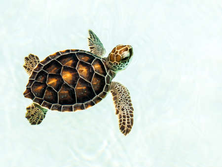 맑은 물에 귀여운 멸종 위기에 처한 아기 거북이 수영