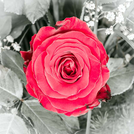 flower arrangements: Close up of a beautiful red rose flower