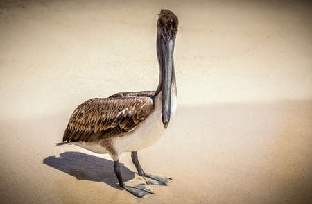 sandy brown: Beautiful brown pelican on mexican sandy beach Stock Photo