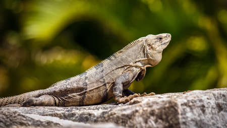roo: Mexican Iguana resting on a rock in Playacar Mexico