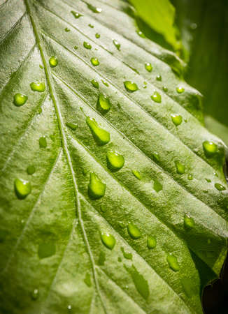 Closeup of bright water drops on green leaf photo