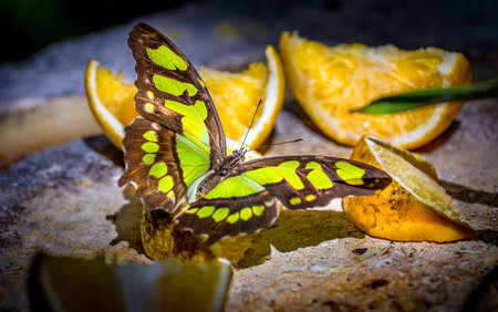 malachite: Closeup of Malachite butterfly feeding on slices of orange fruits Stock Photo