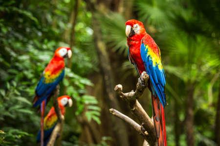 Portrait of colorful Scarlet Macaw parrots Banco de Imagens - 43254531