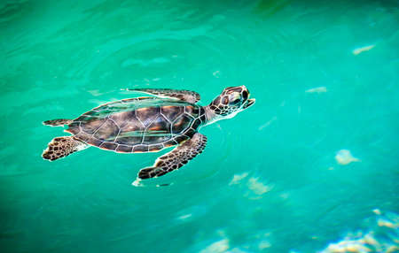 under the sea: Close up of cute baby turtle in turquoise water Stock Photo