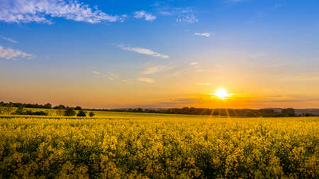 flowers field: Sunset and idyllic country landscape with field of yellow rape