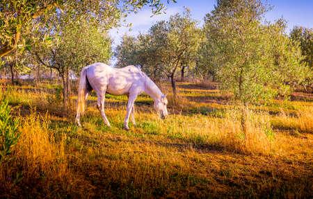 tuscany landscape: White wild horse feeding in olive orchard in Tuscany