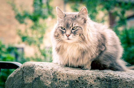 color hair: Cute long hair domestic cat on a wall Stock Photo