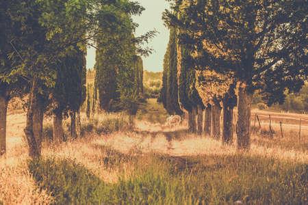 amongst: Wild horse amongst high tuscan cypress trees Stock Photo