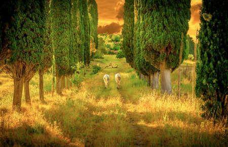 Wild horses amongst high tuscan cypress trees