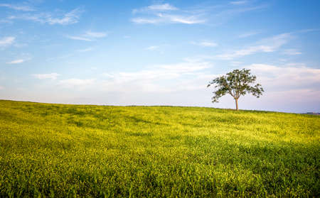 beautiful tree: Lone tree landscape with blue sky and white clouds Stock Photo