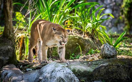 puma cat: Wild Puma cat searching for a prey Stock Photo