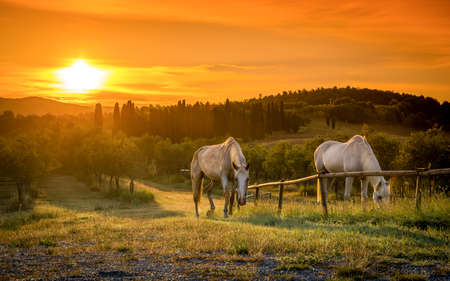 Wild horses and sunrise over tuscan landscape