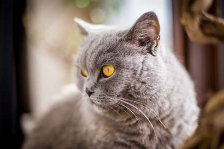 Portrait of British Shorthair cat with blue and gray fur. Shallow depth of field.