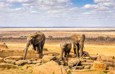Herd of african elephants on savannah plains in Tsavo East park, Kenya