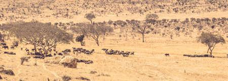 Buffalos on savannah plains in Tsavo park, Kenya