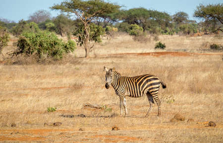 Closeup of amazing zebra on savannah plains in Tsavo East park, Kenya