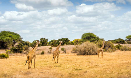 Amazing african giraffe on savannah plains in Tsavo East park, Kenya