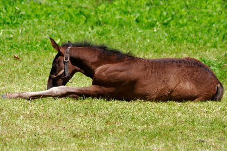 filly: Little horse filly lying on green grass Stock Photo