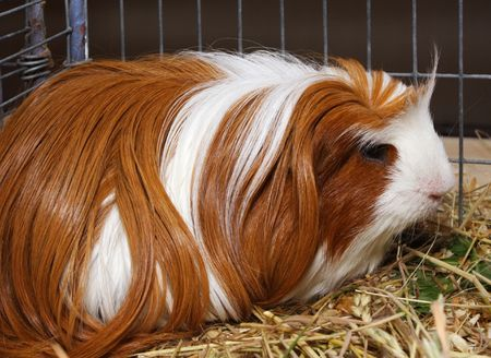 Guinea pig in cage from exhibition photo