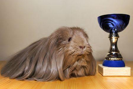 świnka morska: Zwycięzca wystawy świnki morskiej