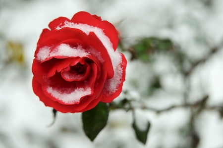 Red Rose In Snow Stok Fotoğraf